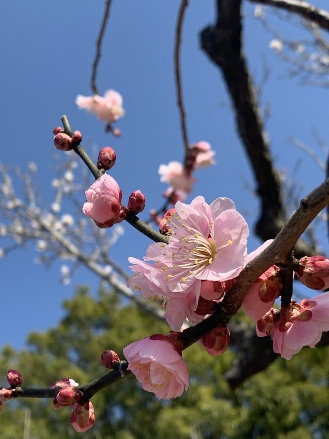 桐生から ポカポカ春の梅だより