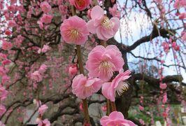 2020新春、蕾から七分咲の枝垂れ梅(4/7):2月18日(4):名古屋市農業センター(4):枝垂れ梅、寒菖蒲、茶席