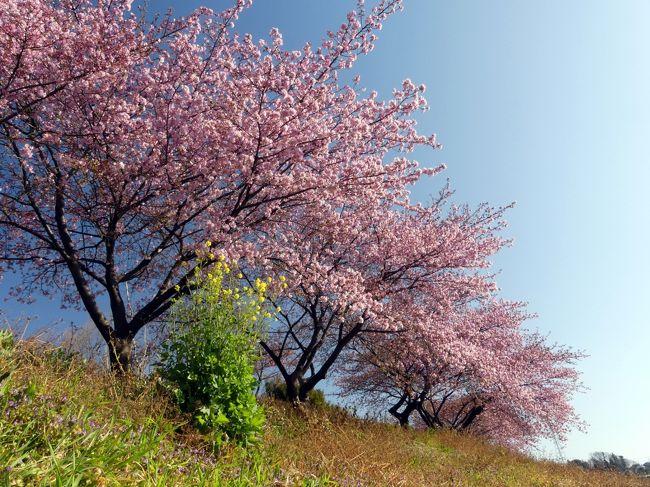 深谷市の「榛の森公園」を、前回(2月18日)から6日後、2月24日に再訪しました。前回、咲き始めだった河津桜は開花が進んでいて、樹によって(場所によって?)差はありますが、見頃が始まっていました。開花は、3分から6分位だと思います。河津桜は花が長持ちしそうなので、まだ楽しめると思います。