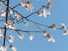 品濃桜が開花しました-2009年~2020年