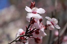 原点を見直す為にアメリカへ②「ワシントンDCの美しいカテドラルと桜祭りのお花見で心機一転」(3月17日夕方~18日AM)