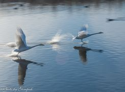 近場の飛来地で白鳥たちに癒されて ~五行川白鳥飛来地に三度通う~
