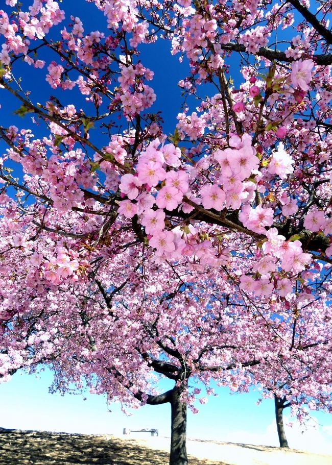 前回訪問(2月20日)の一週間後、「いせさき市民のもり公園」を再訪しました。河津桜はほぼ満開になっていて、見頃でした。平日でしたが、比較的たくさんの人が訪れていました。