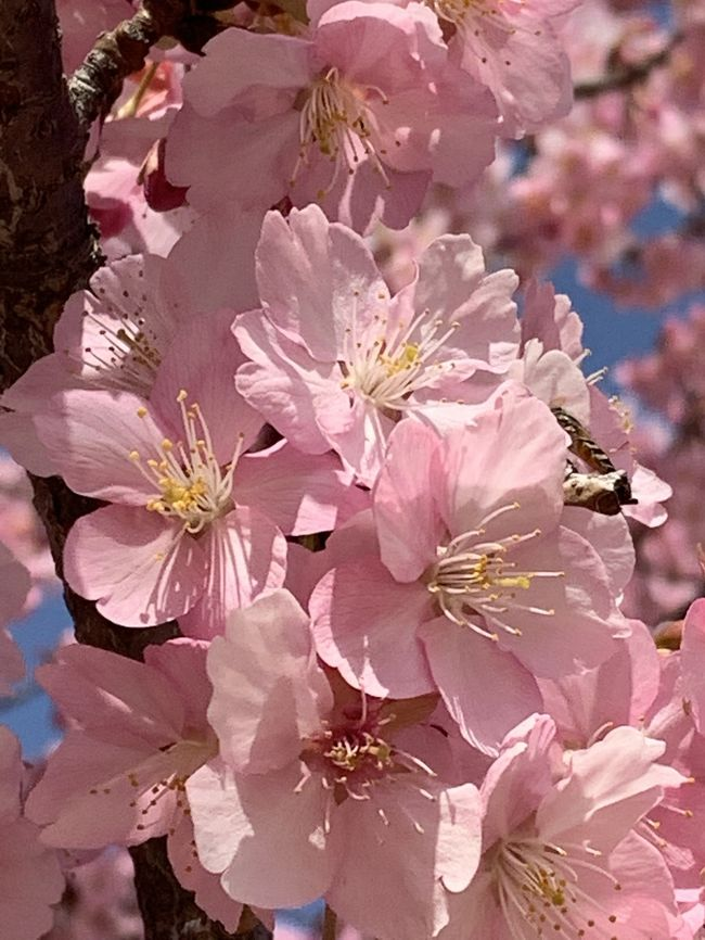 新型肺炎の渦巻く中、<br />不要不急の外出は控えて下さいとのお達し。<br /><br />けれど先週に続いて、<br />ドライブならと、お出かけです。<br /><br />やはりポカポカとした暖かな1日。<br /><br />キレイな河津桜を眺めて来ました❣️<br />