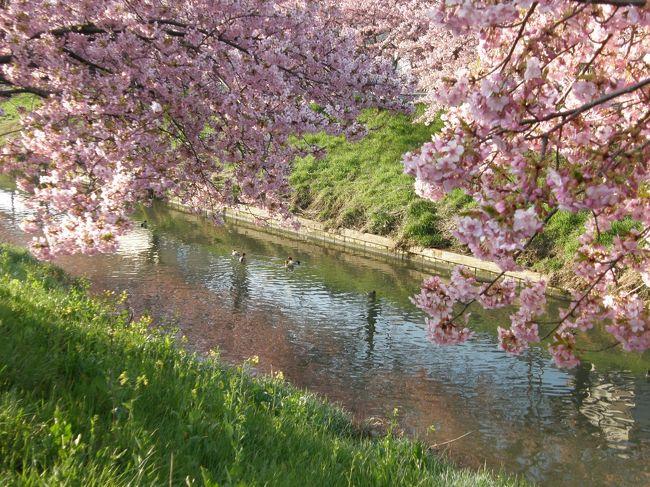 毎朝のウォーキングコースで青毛堀川畔の河津さくらが満開になったので、今朝は、何時もの早朝ウォーキングコースを延長して鷲宮神社までの河津さくらを見ながら歩く。