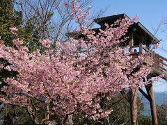 可愛いピンクの河津桜と紺碧の海♪ 南知多大井の聖崎公園♪&再び平芝梅林公園♪