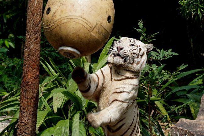 動物ずくめのシンガポールひとり旅 14 シンガポール動物園 アシカショーの部