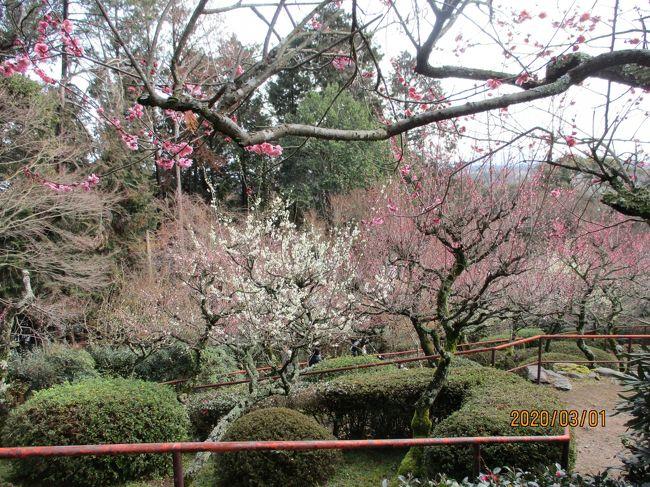 石山寺をゆっくりと参拝しました。「梅つくし」という時期で本堂近くでは盆梅もあり、梅林が満開でとてもきれいでした。その近くでは、「夢の桜」という桜も咲いていてとてもきれいでした。