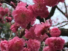 春休みの北陸親子旅3泊4日☆⑤朝食も美味しい弁慶★兼六園梅林の摩耶紅梅を楽しんで歩きます♪