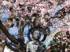 今年は早い見頃 密蔵院の安行桜☆2020/03/06