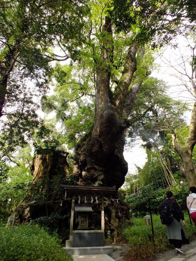 今年最初の旅も二日目、伊豆高原から熱海移動して市内散策、<br />何度も熱海に来ているのの初めて起雲閣や来宮神社を訪問しました。<br />素晴らしい歴史的遺産を今まで見てなかったのかと思いました。