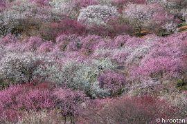2020 三重の三大梅絶景めぐり 【1】いなべ市梅林公園