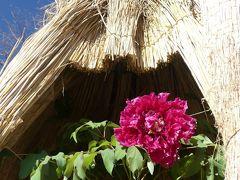 「あしかがフラワーパーク」の冬咲きボタン_2020_花が少ない時季ですが、綺麗に咲かせてくれていました。