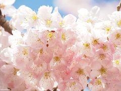 満開の春めき桜@南足柄