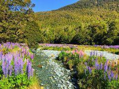 ニュージーランド 南島 ルピナス街道 ⑤ (戻りは絶景ロードのルピナス畑で小休憩)