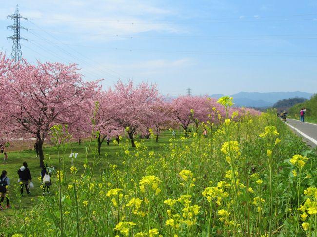 埼玉県坂戸市の越辺川右岸の「北浅羽桜堤公園」。<br />約1.2kmにわたり早咲きの安行寒桜の並木道が続きます。<br />東京でのソメイヨシノの開花も今日明日かという本日3/13、一足早く満開の桜を観てきました。<br /><br />明日3/14(土)~22(日)まで「第6回 坂戸にっさい桜まつり」も開催予定でしたが、御多分に漏れずイベントは一切中止になりました。<br />でも、こういう時だからこそ、屋外のすがすがしい空気の中、綺麗な桜を見て少しでも晴れやかな気分になるのも一つの方法ではないでしょうか・・<br /><br />ただし、昨年より一週間早く行きましたが、既に散っている花びらもあり、今、まさに満開です。<br />お天気と相談してなるべく早めに行かれることをお勧めします。<br /><br />この後、にっさいの工業団地の中にある、ぎょうざの満洲の本社工場併設のレストラン「坂戸にっさい店」でランチします。<br />