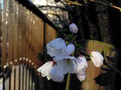 2020年春 目黒川桜開花宣言  今年の開花は早かった!