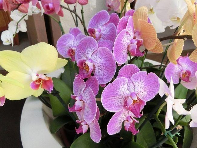 ハワイ旅行では、滞在しているホテル周辺のホテルや公園を散歩して花を見ることが好きです。<br />今回も時間が許す限り、周辺のホテルや公園を散歩していろいろな花を見て楽しみました。<br /><br />「オーキッド(Orchid)」をホテルのシンボル・フラワーとしている「ハレクラニ」では、色とりどりの「オーキッド」を、「ハレプナ・ワイキキ」でも、僅かですが、「オーキッド」を見ることが出来ました。<br />そして、私のお気に入りの花「ヘリコニア(Heliconia)」も数種類、「ハレクラニ」と「ロイヤル・ハワイアン」で見ることが出来ました。<br /><br />三つのホテルで1月に咲いていた、いろいろな花を「旅行記」としてまとめました。<br /><br />よろしければ、一見して、楽しんでいただければ有難く思います。