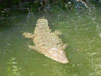 ジャマイカ ブラックリバーサファリ(Charles Swaby's Black River Safari, Jamaica)