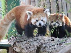 車では2度目の羽村市動物公園でパンダミン補給!~レッサーパンダのラテくんとソラちゃん同居中&みさき公園から来たアルくん羽村でははじめまして