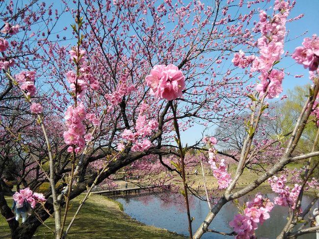 ぽかぽか陽気に誘われて、花も咲きだしました。<br />そうなると、行きたくなるのは、お花見ですよね。<br />何年か前に行った、茨城県の古河市にある、古河総合公園。<br />そこには、花桃園があります。<br />行きたくて、ムズムズ。  鼻もムズムズ。<br />以前は、雨だったので、お天気の良い日にリベンジです。<br />でも、今回は新型コロナ(COVID-19)での影響で、古河桃まつりは中止です。<br /><br />