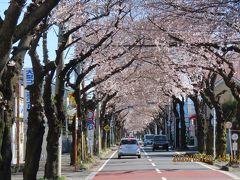 今年も桜トンネルが見られました