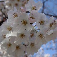 上野公園と目黒川 サクラの確認