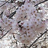 上野公園へ桜を見に行きました。