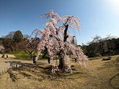 満開のしだれ桜を観に小石川後楽園へ