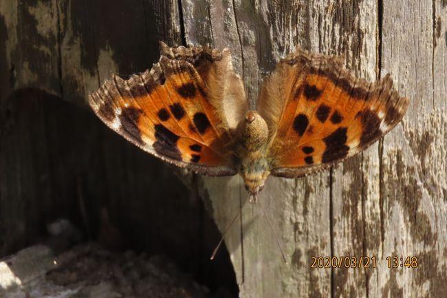 3月21日、午後1時過ぎに川越市の森のさんぽ道へ蝶の観察に行きました。 この日の最高気温は21℃もあり、可なりの陽気で山桜の開花があっちこっちで見られ、蝶の観察に好条件でした。 本日見られた蝶はヒオドシチョウ、トラフシジミ、ルリシジミは今年初めて見ました。その他としてはムラサキシジミ、キタテハ、モンシロチョウ、テングチョウが見られ、肉眼ではルリタテハ、ツマキチョウが見られました。 今回の観察ではテングチョウが樹の新芽に新芽から出る蜜を吸っているような飛翔行動を発見しました。二頭が同じ樹に飛んでは止まりを繰り返していました。ヒオドシチョウは越冬型で目が覚めたような行動でした。<br /><br /><br />*写真は今年初めて見られたヒオドシチョウ