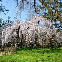 春爛漫京都旅@ヤオイソモーニングと御所のさくら