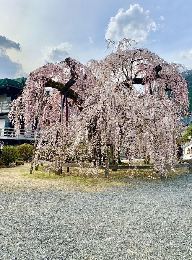 身延山久遠寺のしだれ桜が満開を迎えたと聞き、見に行ってきました。<br />久遠寺に行く前に河口湖へも寄り道した日帰りプチ旅行です。