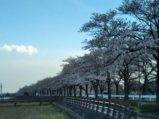 丸広あたりから、蔵の街を経て、伊佐沼へ。<br />今のとこ7部咲きくらいですかね。