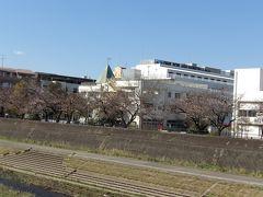 柏尾川の桜はまだ3、4分咲きです-2020年春