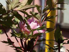 早くも咲き出した春牡丹