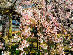 慶龍寺(泉子育観音)の枝垂れ桜