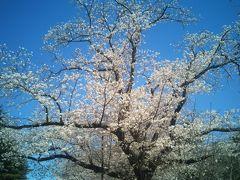 印西牧の原~花の丘~小林牧場の桜