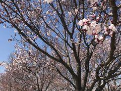 今年最初の桜を見に行きました