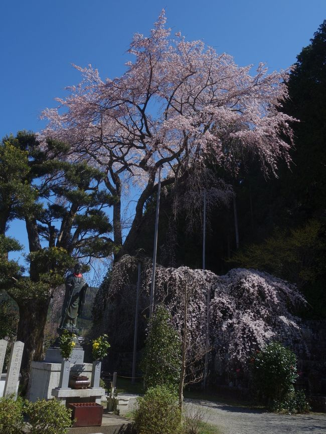 龍祥寺の枝垂桜を見に,名古屋から遠路140キロの道のりをクルマを飛ばして,見に行きました。期待に違わず,すばらしいし桜でした。背がとても高いのが特徴です。