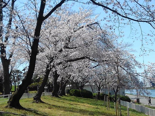 埼玉は戸田に行く機会がありました。午前中で用事が終わったのですが、外は暖かくてとても良い天気です。お昼ご飯は桜のお花見でもしながら食べようと思い、ネットを検索しました。すると戸田市桜情報(桜づつみ)と言う戸田市役所の公式なページが見つかりました。<br /><br />https://www.city.toda.saitama.jp/soshiki/214/keizai-sakura-sakuradutumi.html<br /><br />まずは戸田公園駅のスーパーでお弁当とビールを買い、戸田競艇場に近い「戸田桜づつみ」を目指しました。この近くの戸田公園には駐車場とトイレがあり便利でした。ボートコース沿いは、水辺と桜の見られる静かな場所でした。土手に上がると桜を上から見るような角度になり、たくさんの桜が並ぶため壮観でした。<br /><br />少し進んで17号のバイパスを渡ると「美笹の桜」と書かれていました。堀沿いに桜の木が長い距離並びます。片側は一方通行の道路のため、ゆっくりと見物することができます。古めの木もあるようですが、川に垂れ下がる関係からか枝先を切られているようにも見えて、すこし花に空間があります。びっしりとした満開状態とは、少し感じが違うかもしれません。<br /><br />もう一度戸田のボートコースの方へ戻り、氷川神社に近い「新曽南の桜」。こちらも小さな堀の沿って桜の木が並んでいました。両側は倉庫やマンションが並んでいるため、街中で桜を見るような感じ。歩行者用の通路は確保されていました。<br /><br />最後は戸田市役所へ。こちらは市役所の駐車場が自由に使えます。その前に「後谷公園の桜」があります。市内にある緑のオアシスの様な公園。大きくはないのですが、池や芝生広場に桜の木があります。他と比べると本数は少ないのですが、市民にとっては近場でお花見のできるところでしょうか。<br /><br />戸田市公認の桜マップの中から四か所を回ってみましたが、個人的にはボートコースに近い土手の桜が一番おすすめではないかと思いました。<br /><br />