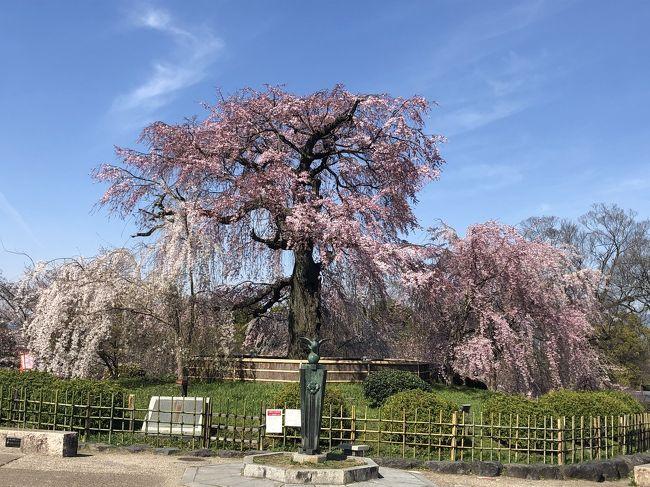 新型肺炎の影響で学校が休校になっておりますが、4月からの新学期に備え、バスの定期やら制服、上靴などを新調しに、仕事休みの平日の今日子供たちと行ってきました。<br />京都の桜は満開までは行っていませんが、とても綺麗に咲いています。<br />ここ数年のインバウンドの外国のお客様が多く、ここは外国?という雰囲気でしたが、今は本当に静かな京都が戻ってきております。<br />新型ウイルスとの闘いは長期戦になっており、段々と自粛疲れが出てきております。行く予定だった沖縄旅行にも行けず、塾の春期講習にも行かせず、子供達、休校になってから1日一回のランニング以外本当に家から一歩も出ておりません。終業式の日に学校に向かった背中に喜びが満ち溢れておりました。<br />桜の花が咲き、我々日本人の心にもわずかでも平穏が戻りますように。そして子供達が学校に無事に行ける春が来ますように