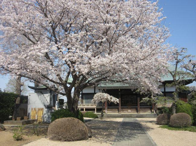 埼玉県さいたま市の「人形の町・岩槻」にやってきました。<br />JR大宮駅から東武線に乗り換え、6個目の駅「岩槻駅」で下車します。<br /><br />最近、埼玉県の「町歩き」で人気の町になっているようです。<br />岩槻城(別名:白鶴城)があった町はどんな町なのでしょうか?<br />それでは、岩槻の歴史さんぽを始めます。<br /><br />【岩槻ミニ知識】<br />岩付城(岩槻城)は室町時代1478年に成田氏によって築城されました。<br />                (太田道灌の説もあり)<br />ここ武蔵の国は扇谷上杉氏と北条氏の覇権争いで、その傘下の武将により<br />岩槻城も奪い奪われの時代が続いていました<br /> 1524年、太田資頼が岩付城を攻め落とし城主となる。<br /> 1567年、北条氏により直轄の城となります<br /> 1590年、豊臣の軍勢により落城、徳川家康が江戸に入府。<br />      譜代家臣の高力清長が2万石で岩槻城に入る(岩槻藩)<br /> 1619年、岩槻藩は廃藩となり、一時期幕府直轄領となった。 <br />以降、代々譜代の大名が城主となりますが、ほとんどが幕府老中職<br />であった点からも重要な幕府の拠点であったことが分かります。<br />江戸中期からは大岡氏が明治の廃藩置県まで城主を務めました。<br /><br /><br /><br />