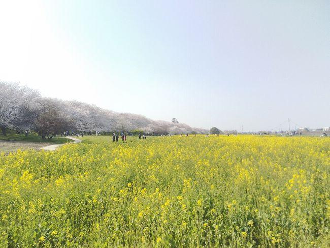 埼玉県幸手市の権現堂堤で<br />桜と菜の花の競演を楽しんできました。<br /><br />週末は外出自粛要請が出たので<br />今日明日が見納めかな。<br /><br />マスクしてひとり歩きのお花見です&#127800;&#128524;