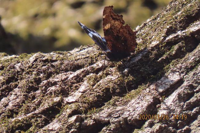3月26日、午後1時過ぎに川越市の森のさんぽ道へ蝶の観察に行きました。 この日の温度は19℃まで上がるということで絶好の蝶観察日でした。 この日に見られたのはテングチョウ、ルリタテハ、キタテハ、キチョウ、モンシロチョウです。 テングチョウは新芽に止まったり、飛翔したりする、新芽に止まって吸汁する飛翔行動が見られました。この飛翔行動は二か所で見られました。ルリタテハは二か所で見られました。キタテハは三か所で見られました。<br /><br /><br />*写真はルリタテハ