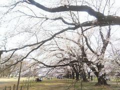 伊奈町 無線山桜並木🌸