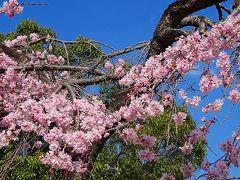 たんたん小道に桜花を探して その4。
