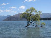2020新春 ニュージーランド19:ワナカ 湖畔散策、ワナカ湖の木、ミレニアムの歩道、ラベンダー