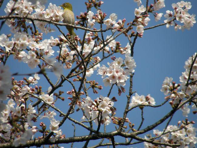 毎日の早朝ウォーキングの時間を使って、静かなお花見をしたいと、夫婦で出かけてみました。<br /><br />先にアップした①「久喜市清久の桜通りの桜」に続いて ②「久喜市の菖蒲公園の桜」です。