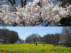 昭和記念公園の花見 Cherry blossom viewing in Showa Kinen Park