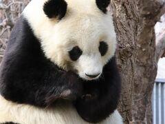 姫路・神戸レッサーパンダ遠征2020(10)王子動物園後編:ジャイアントパンダのタンタンちゃんとアムールトラの三つ子やその他の動物たち